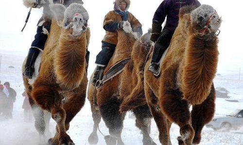 mongolia winter camels