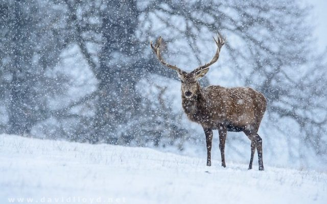snow richmond park london stag